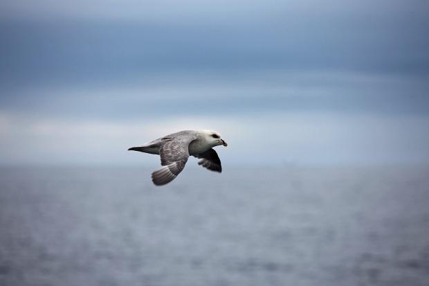arktinenlokki3-kukkaranta-web